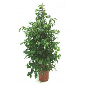 Ficus benjamin orta boy