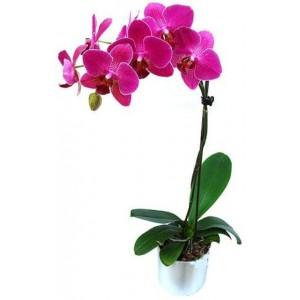 Kelebek orkide