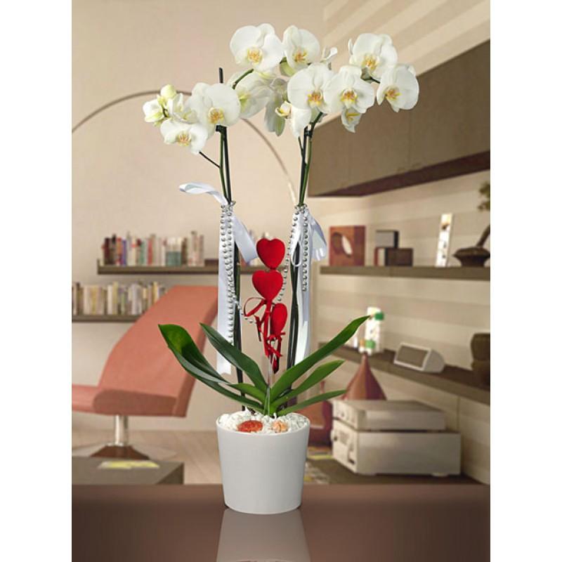 Orkide - phalaenopsis - vazo