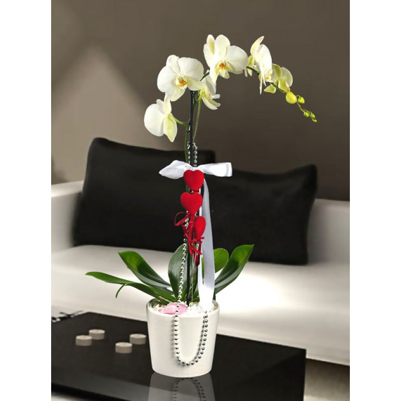 Phalaenopsis - orkide tekli