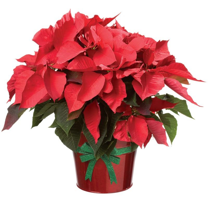 Atatürk çiçeği kırmızı